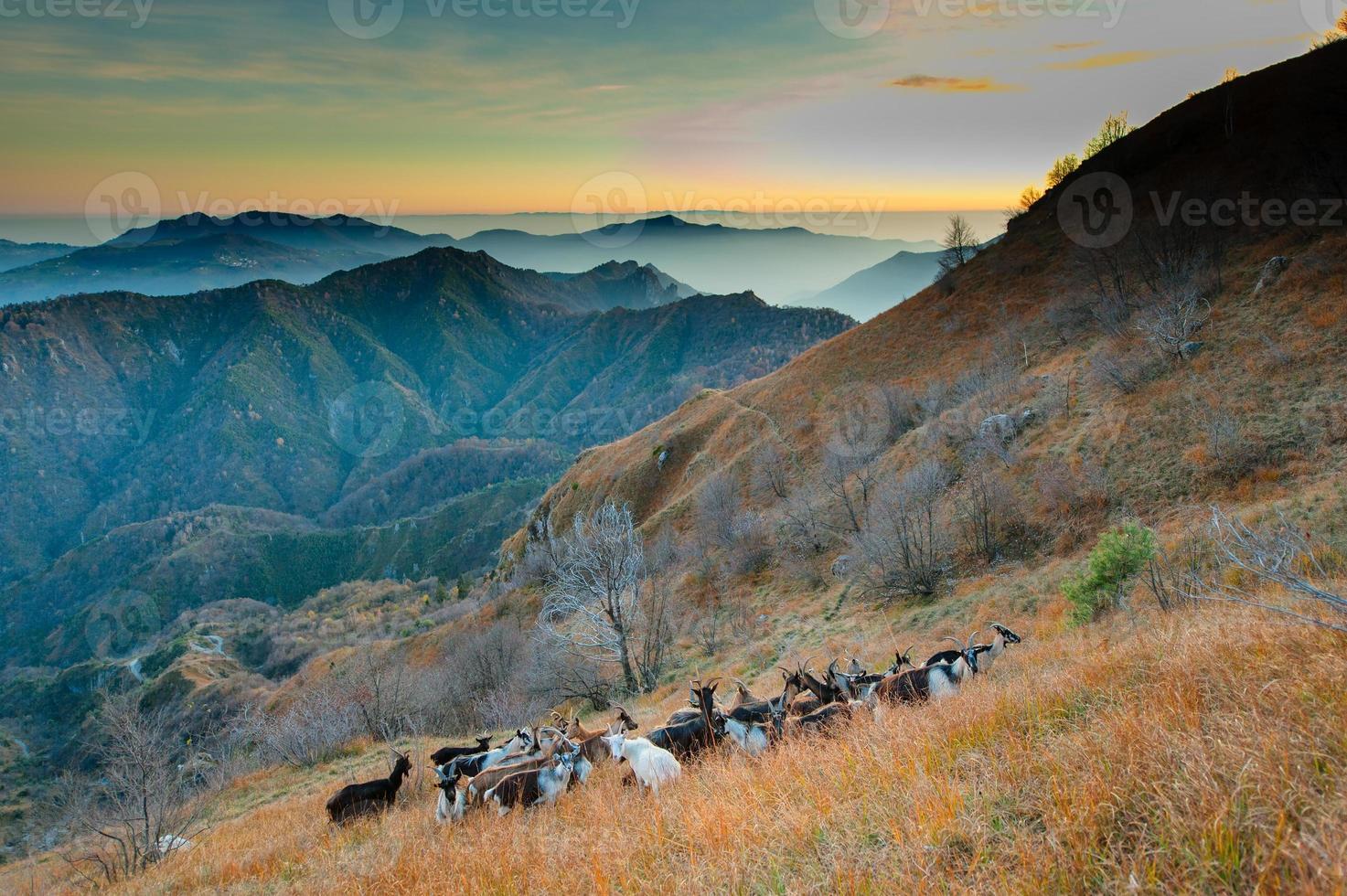 gruppo di capre in montagna foto