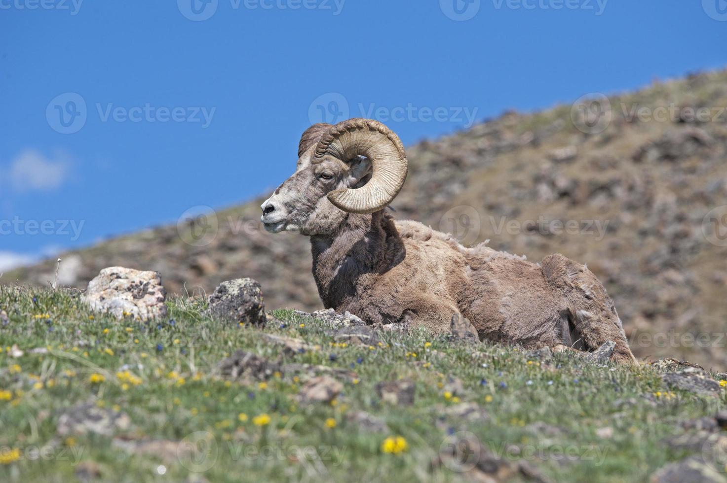pecore bighorn nelle montagne rocciose foto