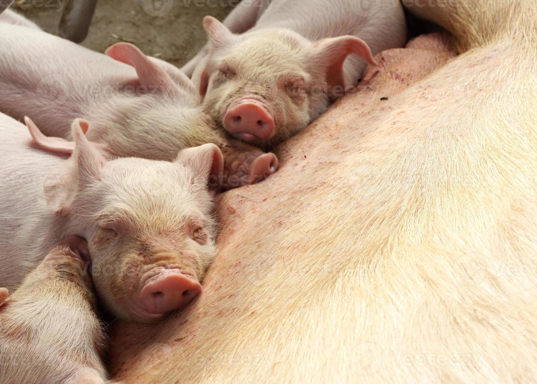quattro porcellini stanchi foto