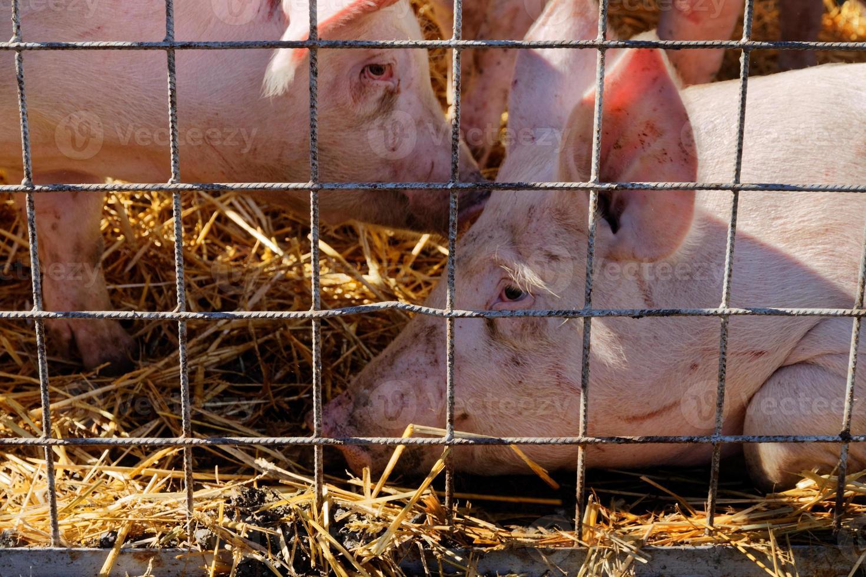 sguardo triste di due maiali in gabbia posa su paglia foto