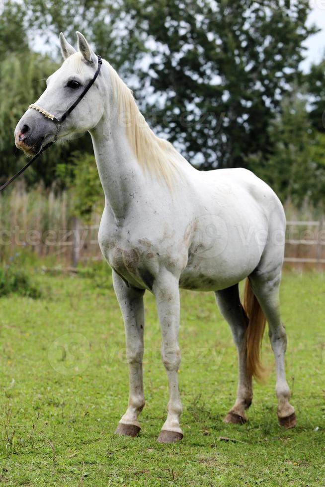 cavallo di razza di colore bianco in piedi nel recinto estivo rurale foto