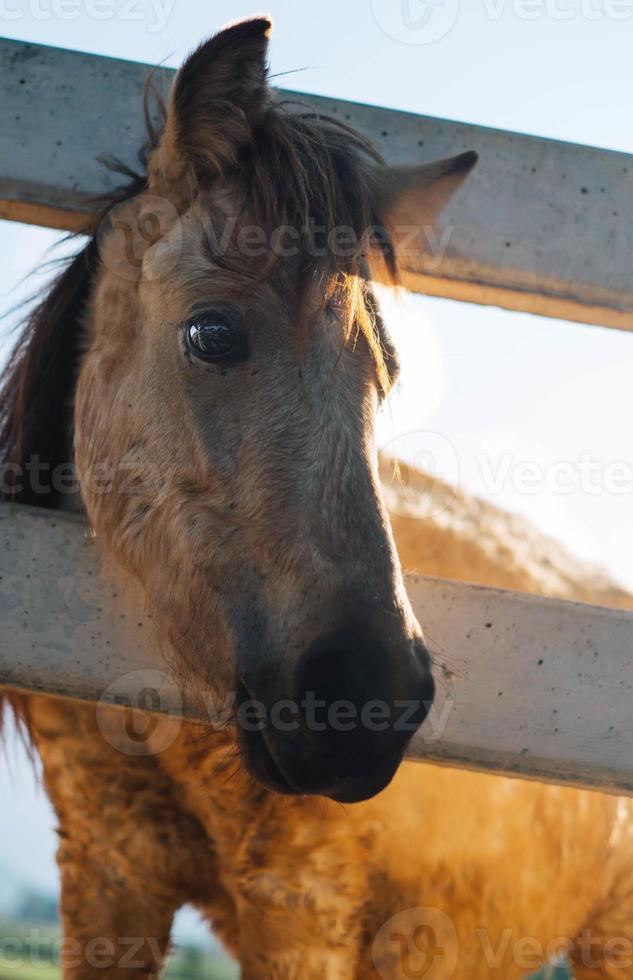 cavalli nella loro stalla foto