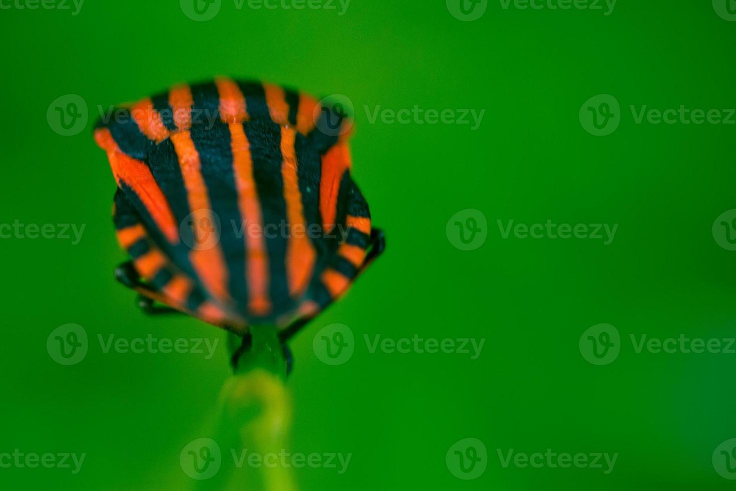bug scudo con sfondo verde foto