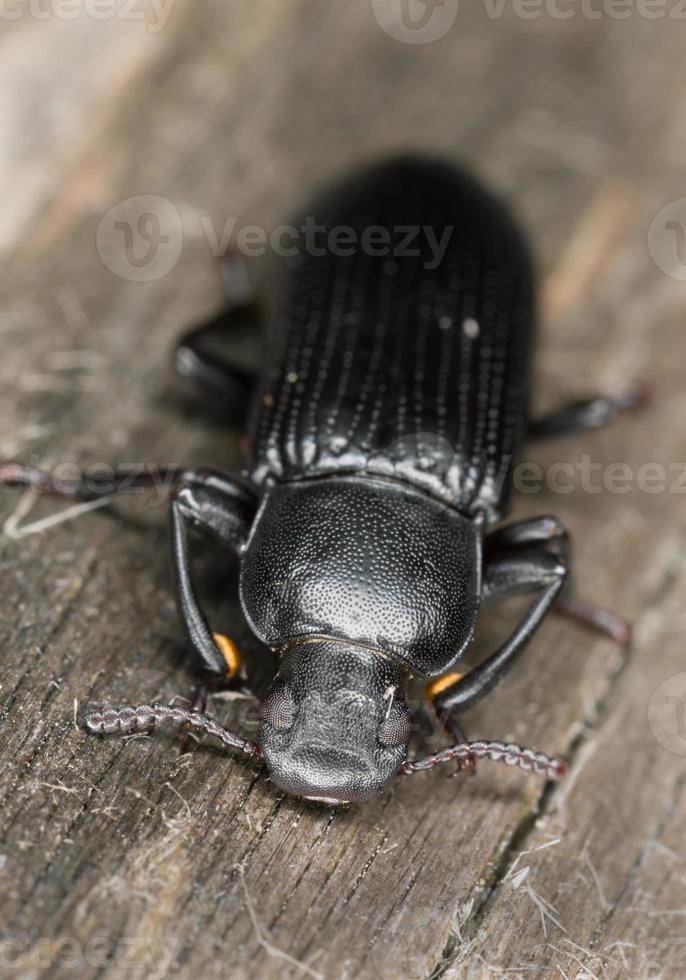 menephilus cylindricus su legno foto