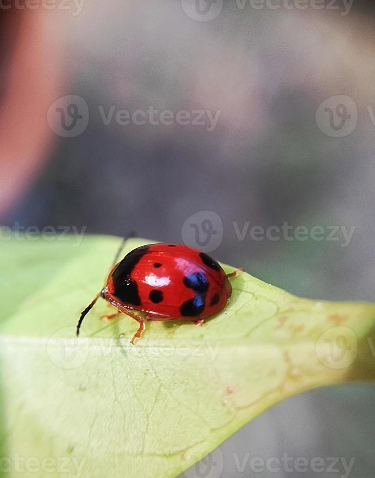 coccinella rossa nel cortile foto