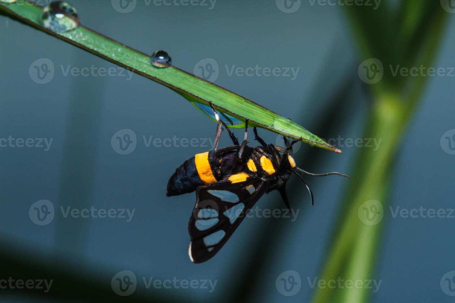 scarabeo accoppiamento su foglia verde foto