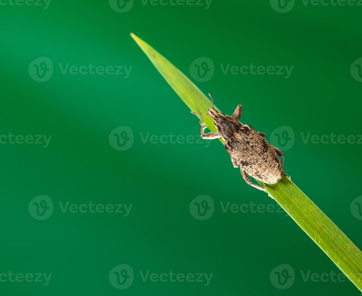 scarabeo sulla cima dell'erba foto