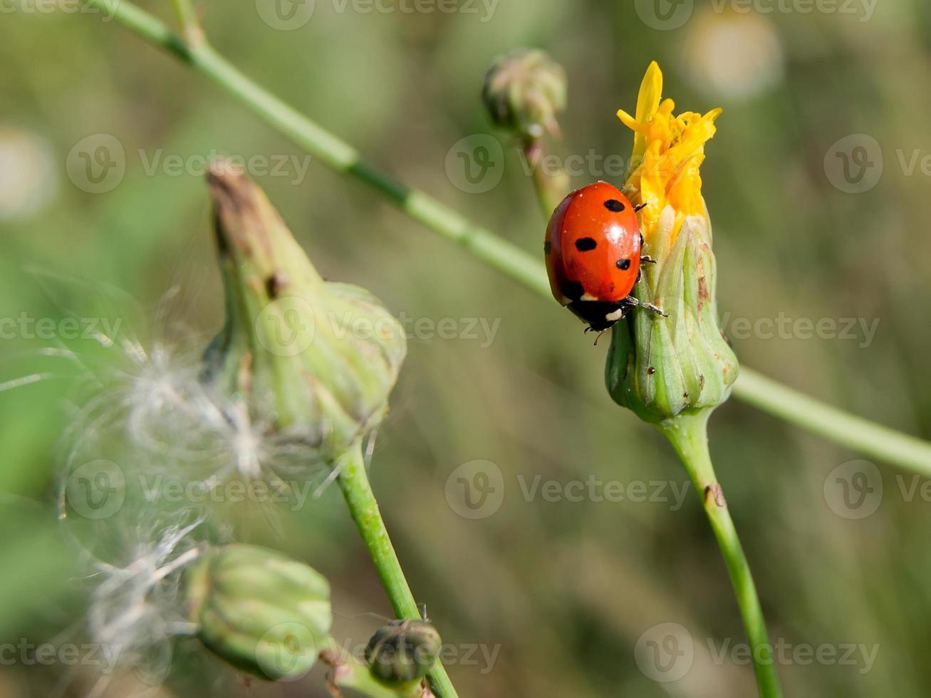coccinella a sette macchie (coccinella septempunctata) foto