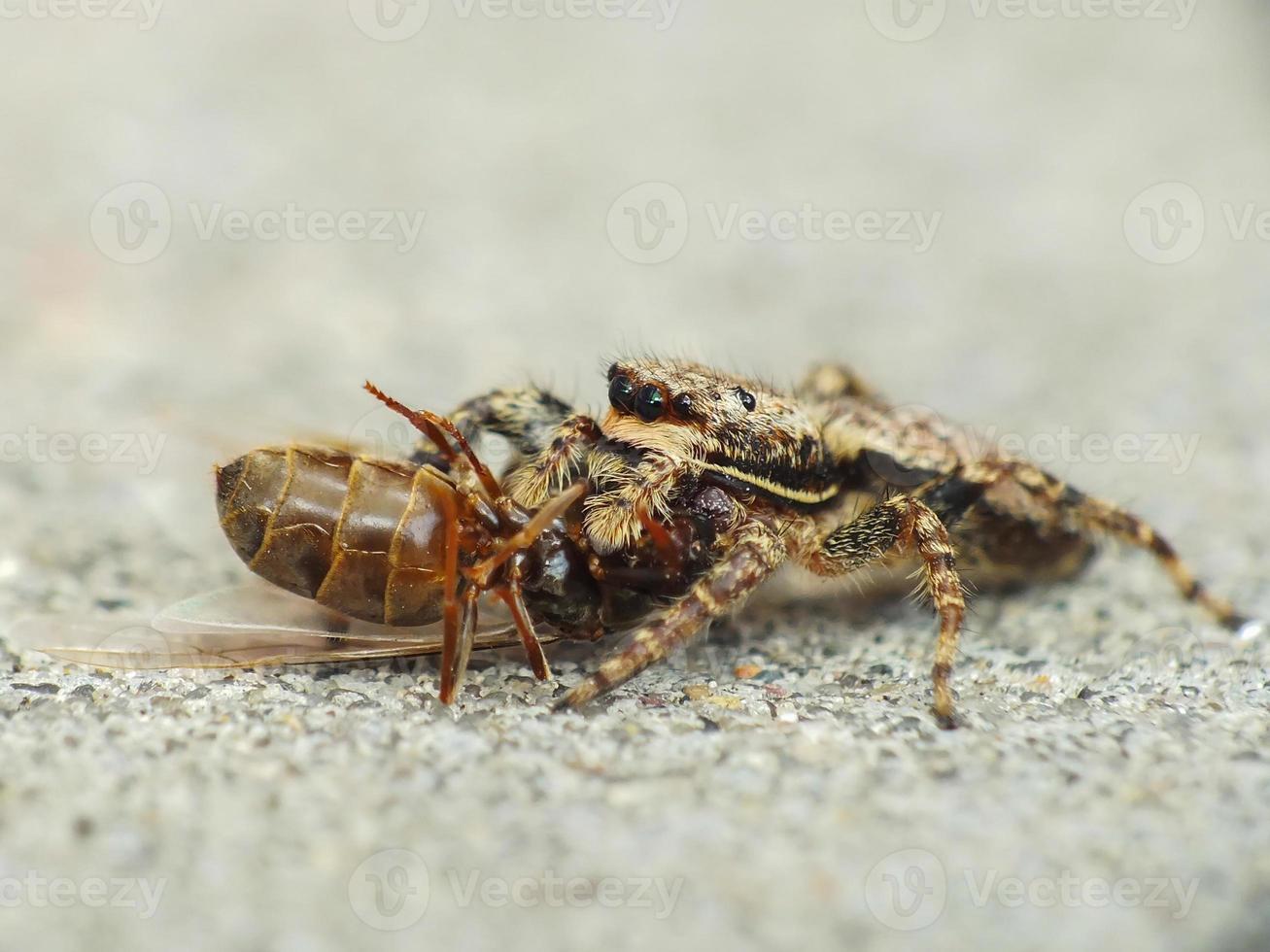 ragno catturato formica foto