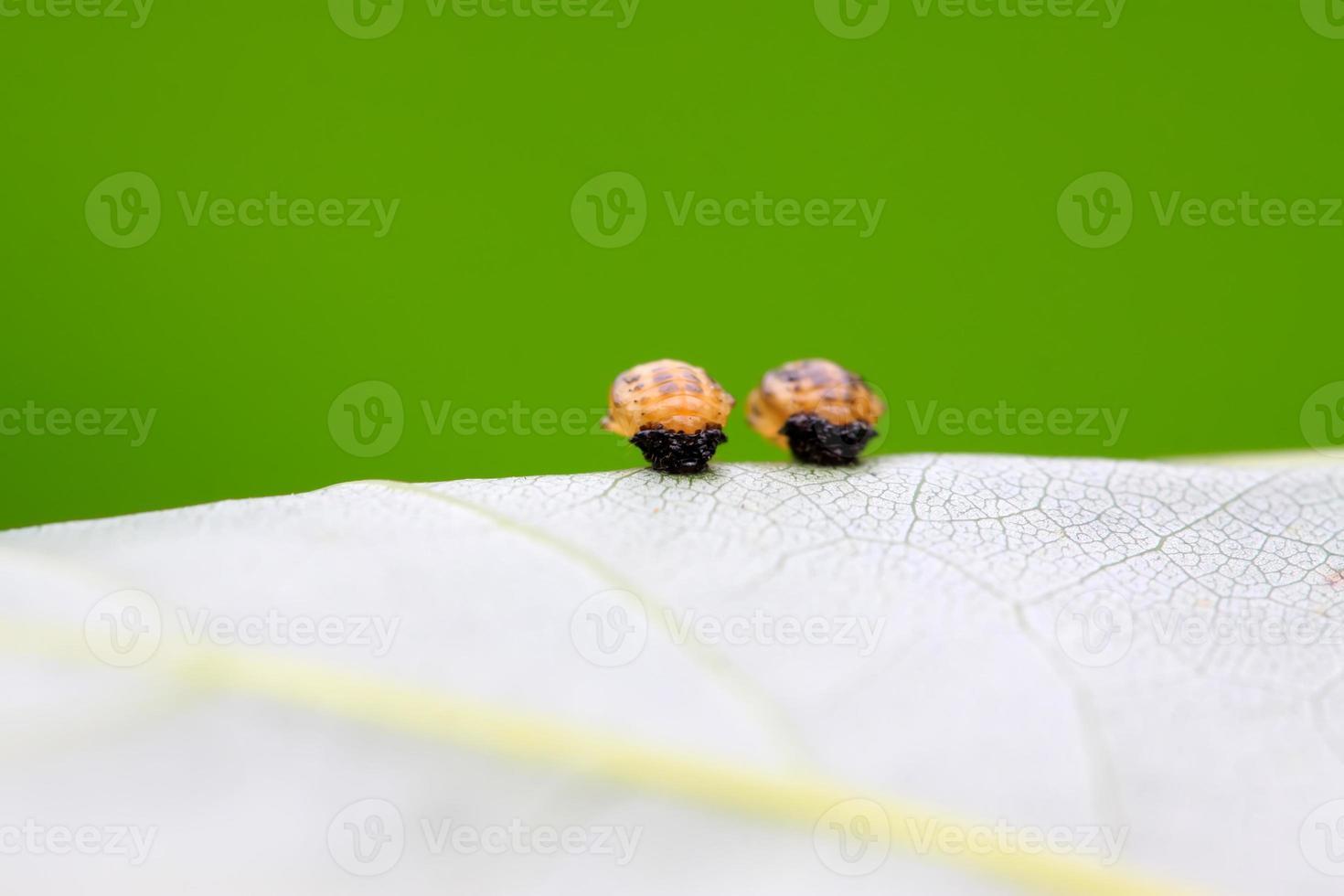 larve di coccinella foto