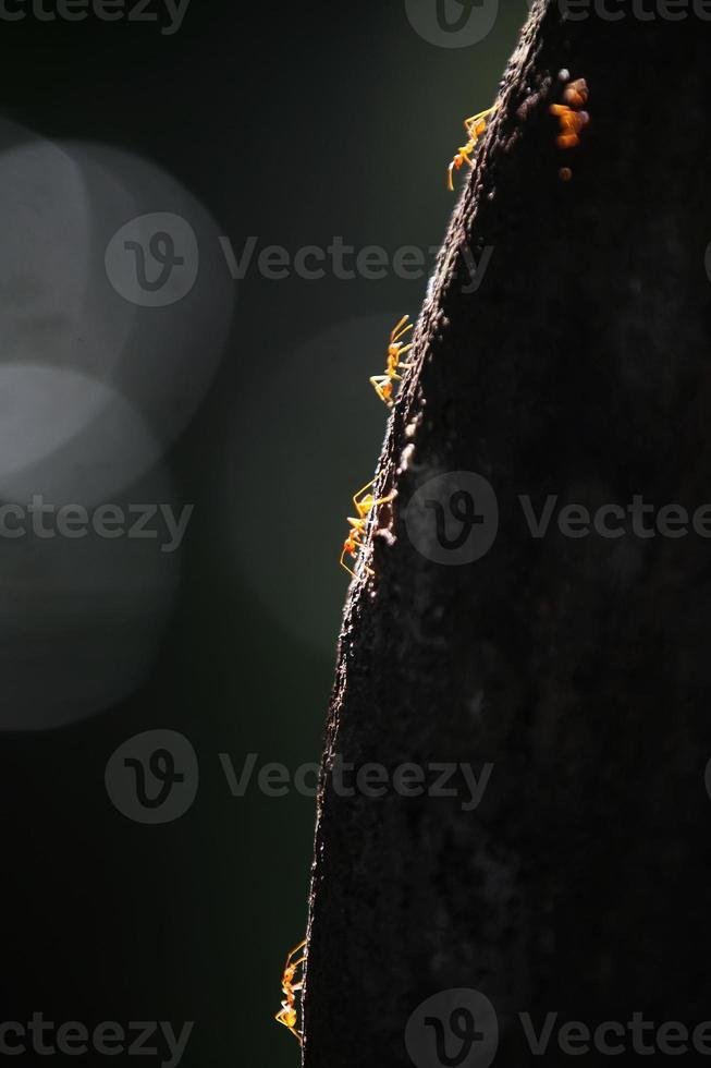 le formiche camminano sulla corteccia foto