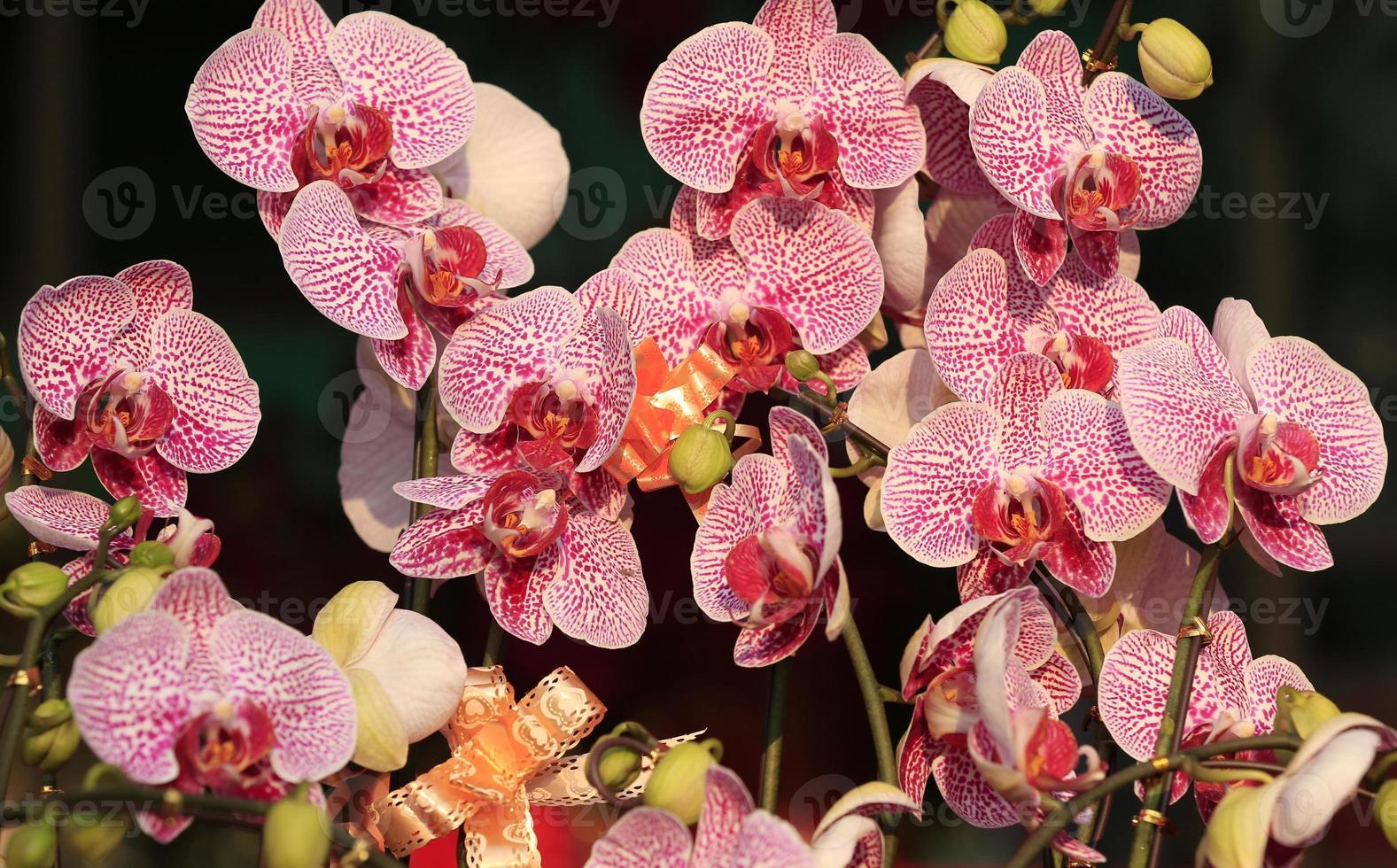 orchidea falena foto