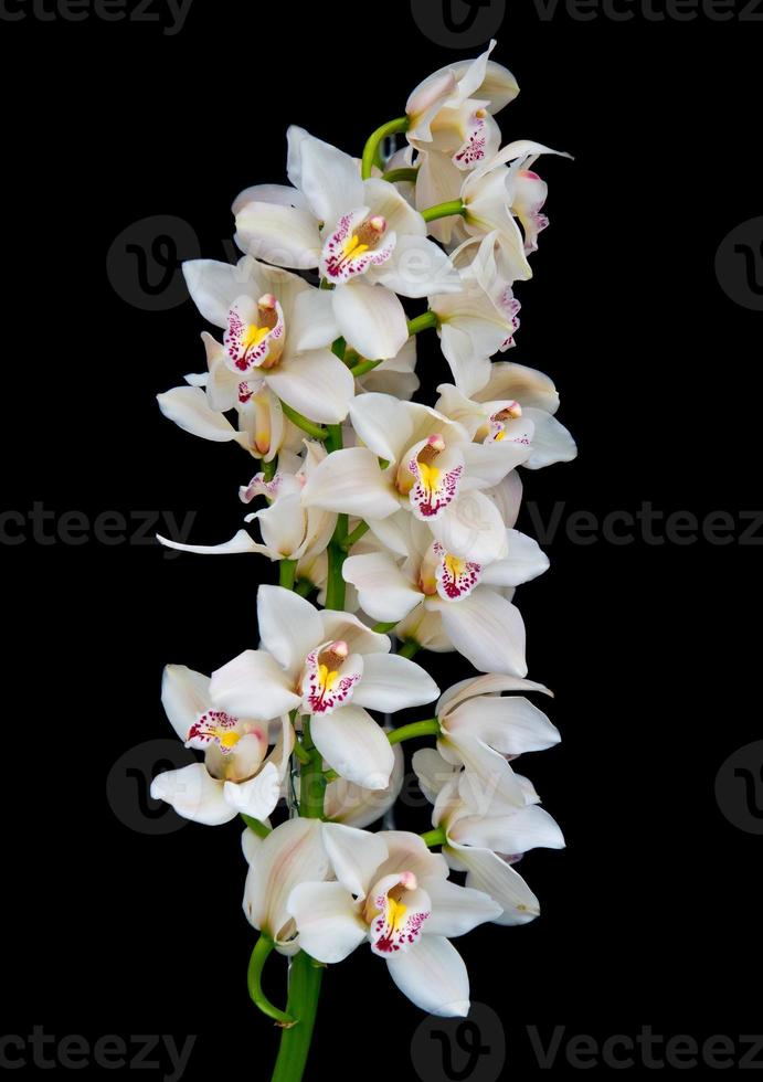 orchidee bianche foto