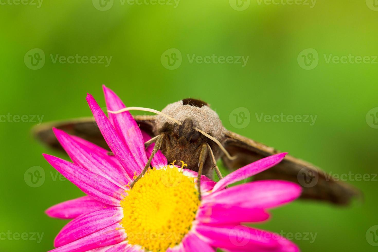 falena di pavone gigante su un fiore rosa foto