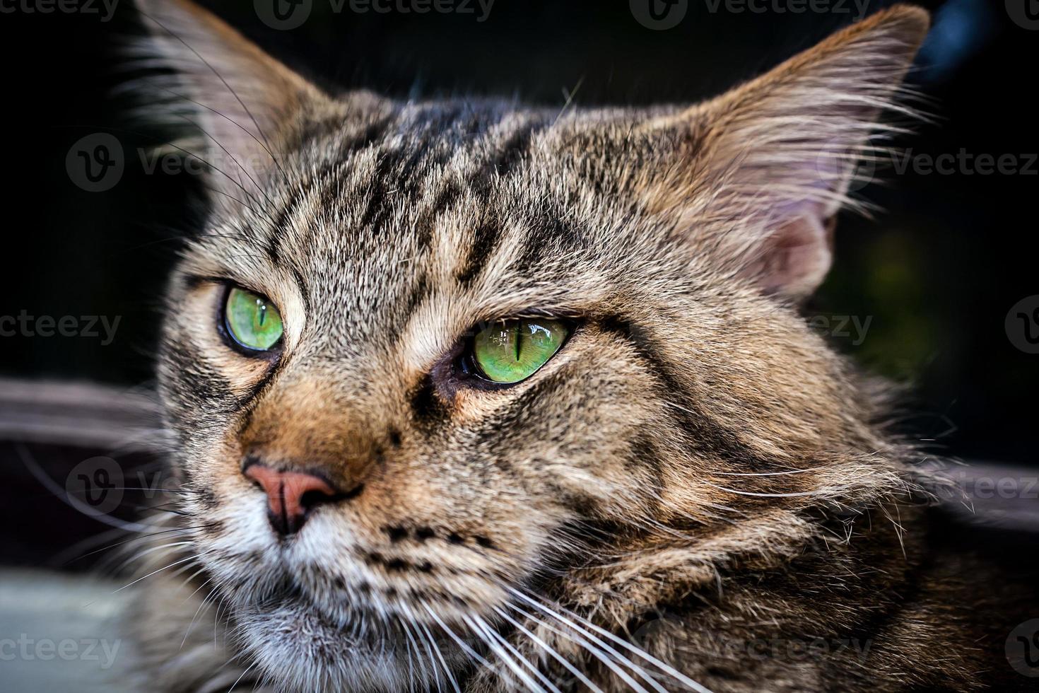 primo piano del gatto di soriano nero del procione lavatore di Maine con gli occhi verdi foto
