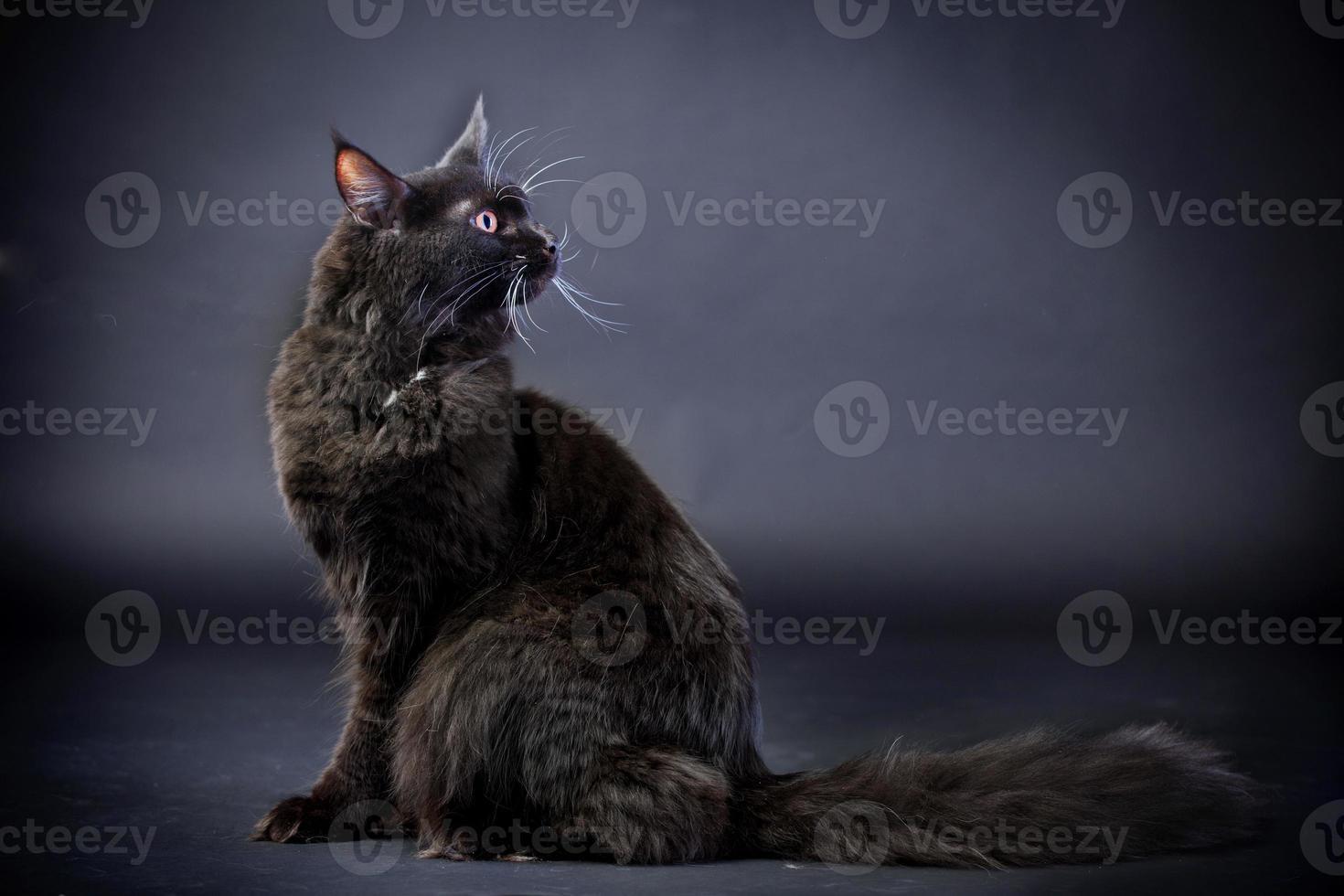 gatto di maine coon nero foto