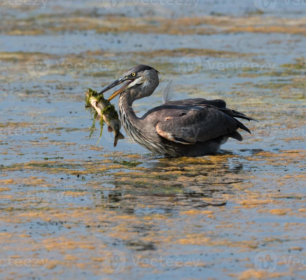 airone azzurro catturato un grosso pesce foto