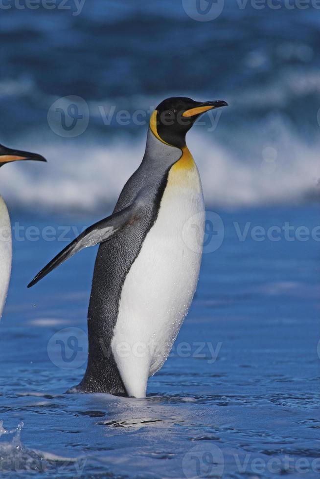 re pinguino (aptenodytes patagonicus) che emerge dal mare nella Georgia del sud foto