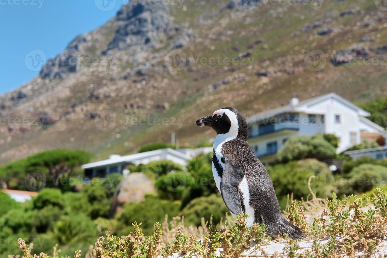 piccolo pinguino carino contro casa e montagna foto