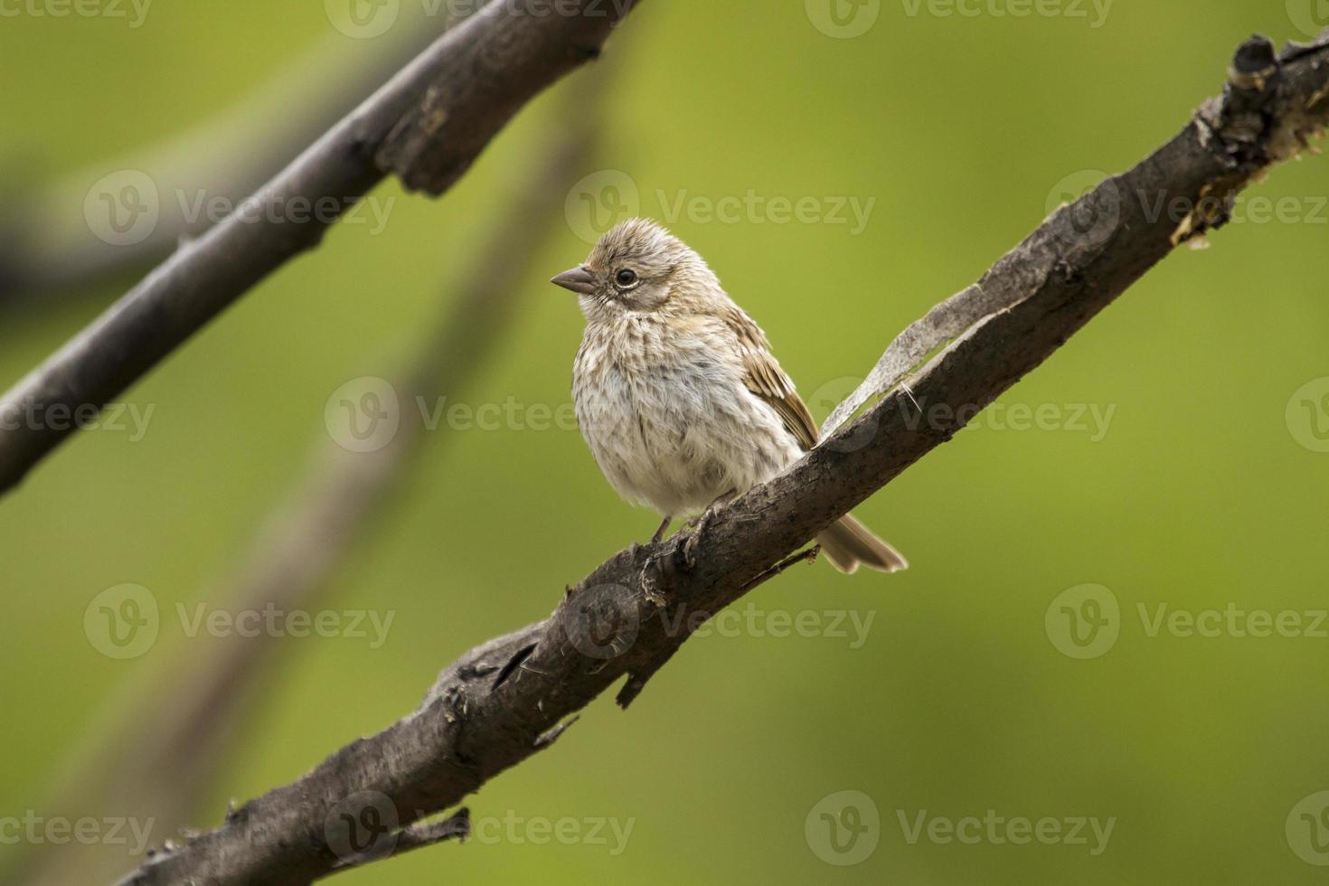 uccello su un ramo, ramificato con sfondo verde. foto