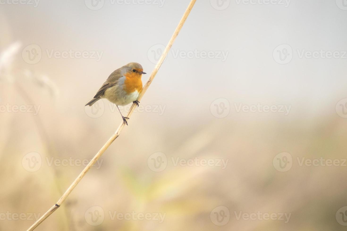 Robin cantando in inverno foto