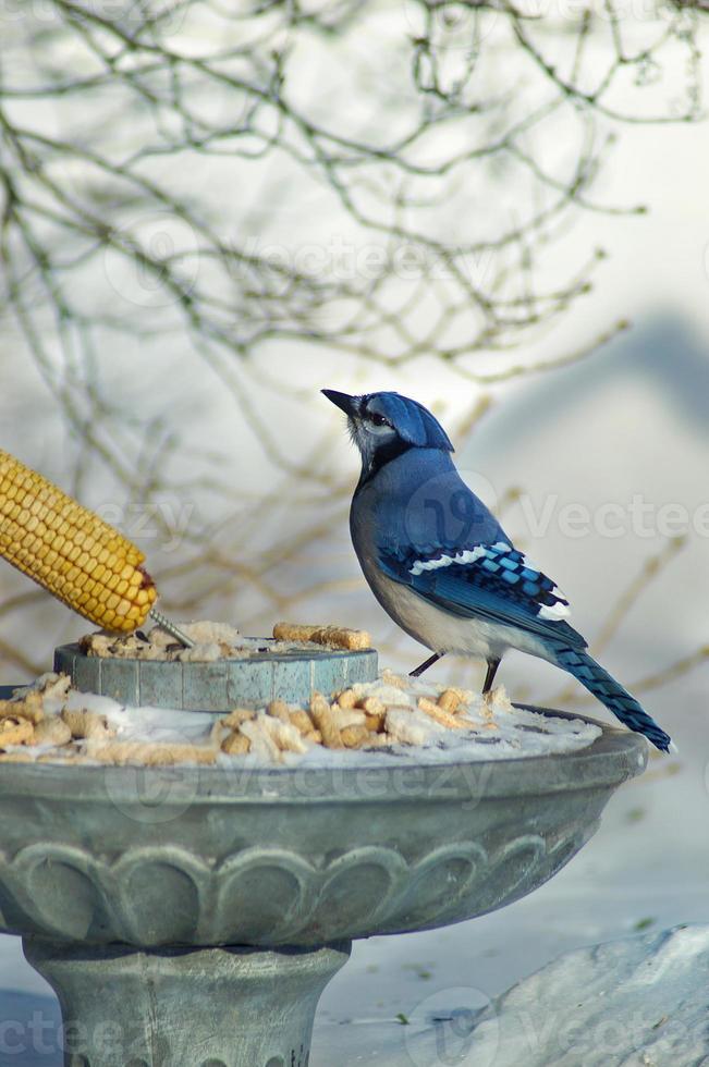 ghiandaia blu che mangia pane sulla neve foto