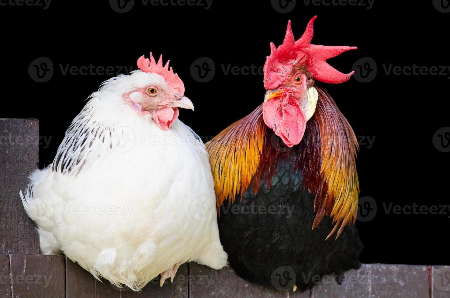 coppia gallo e gallina foto