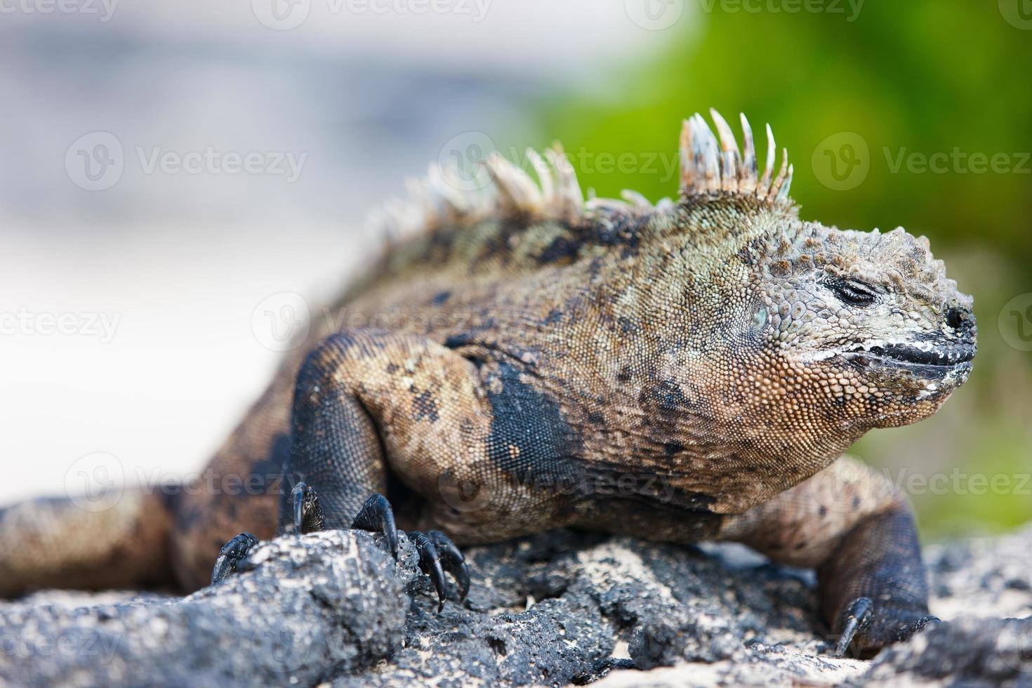 Iguana marina maschio foto