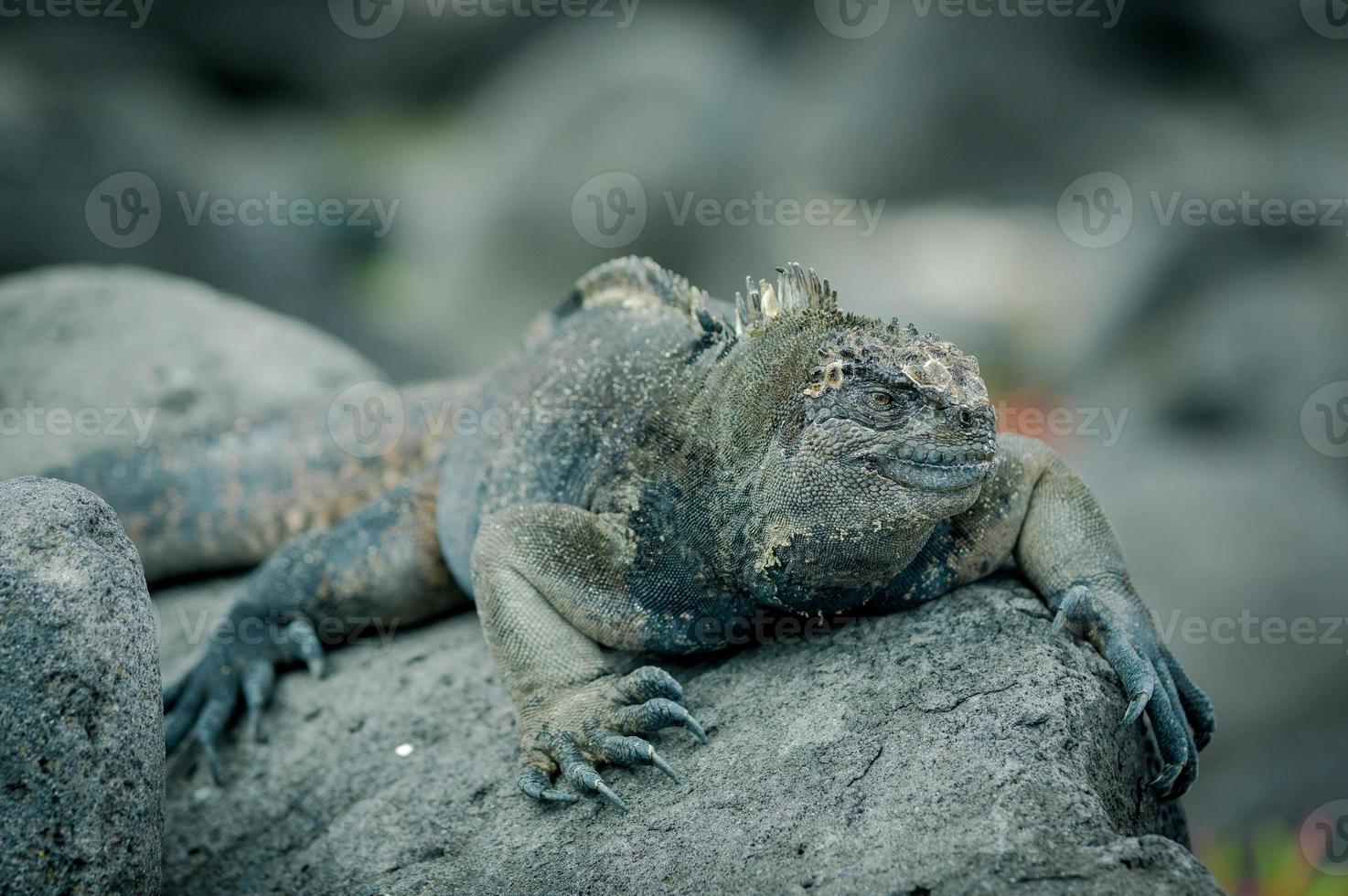 iguane nelle isole san cristobal galapagos foto