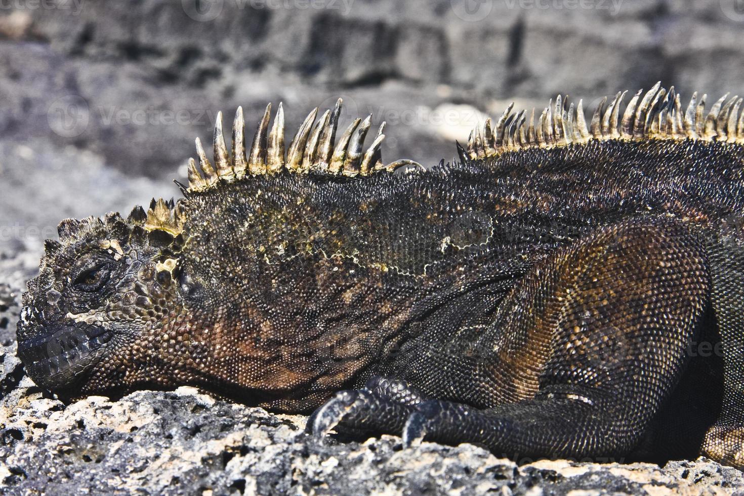 maschio di iguana marina foto