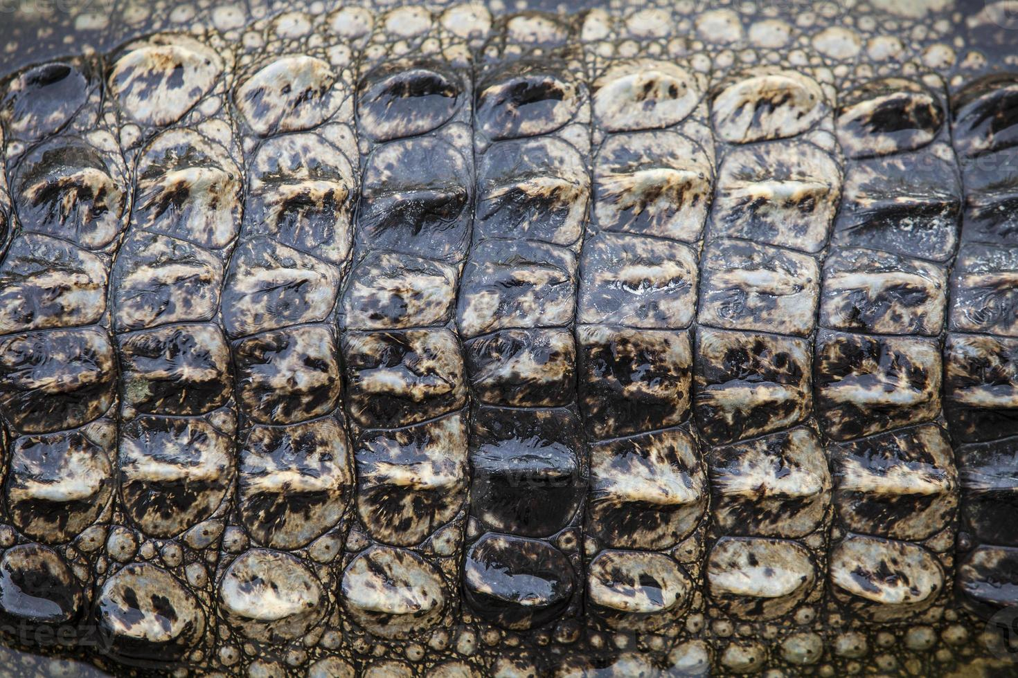 coccodrillo foto