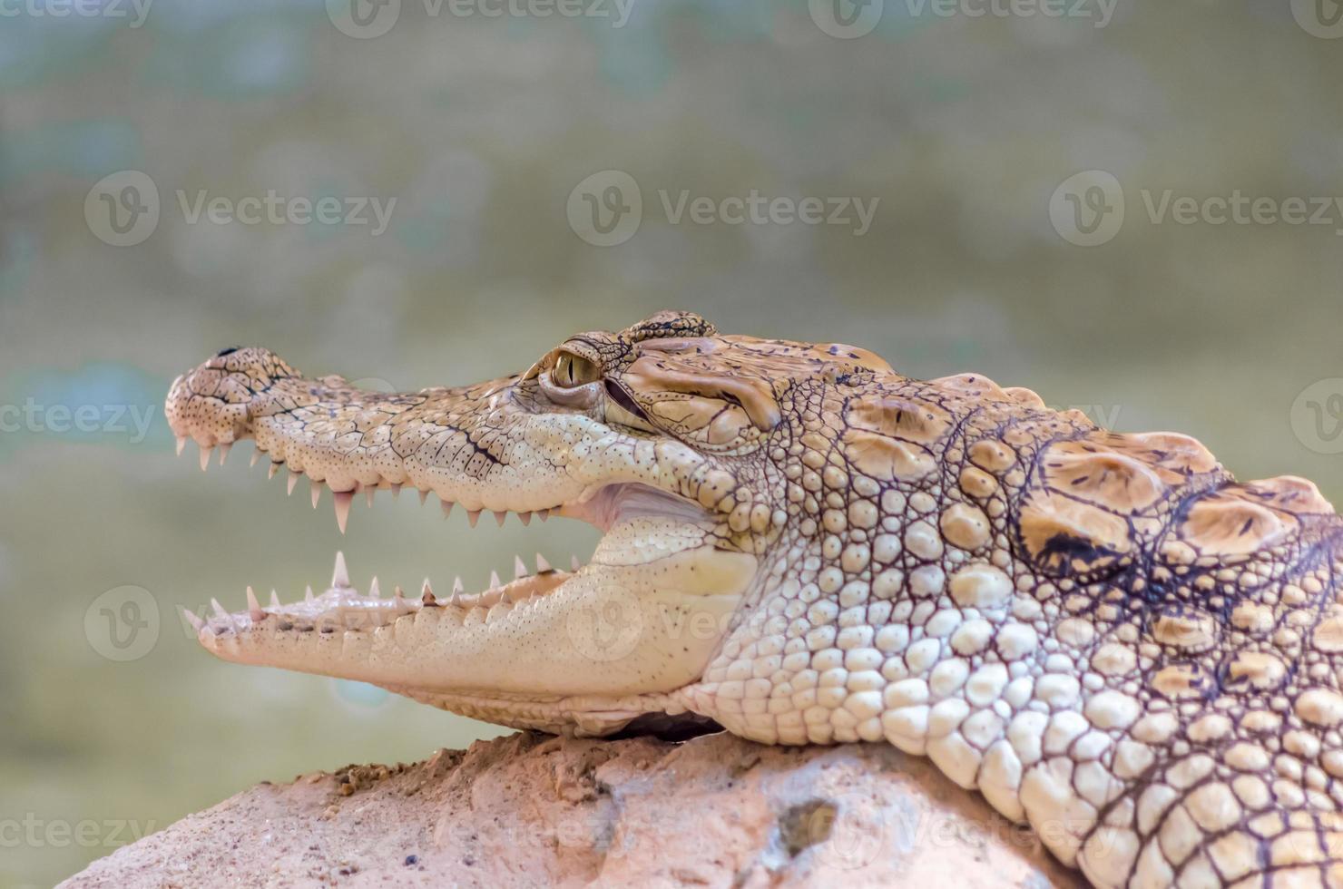 primo piano di giovane alligatore foto