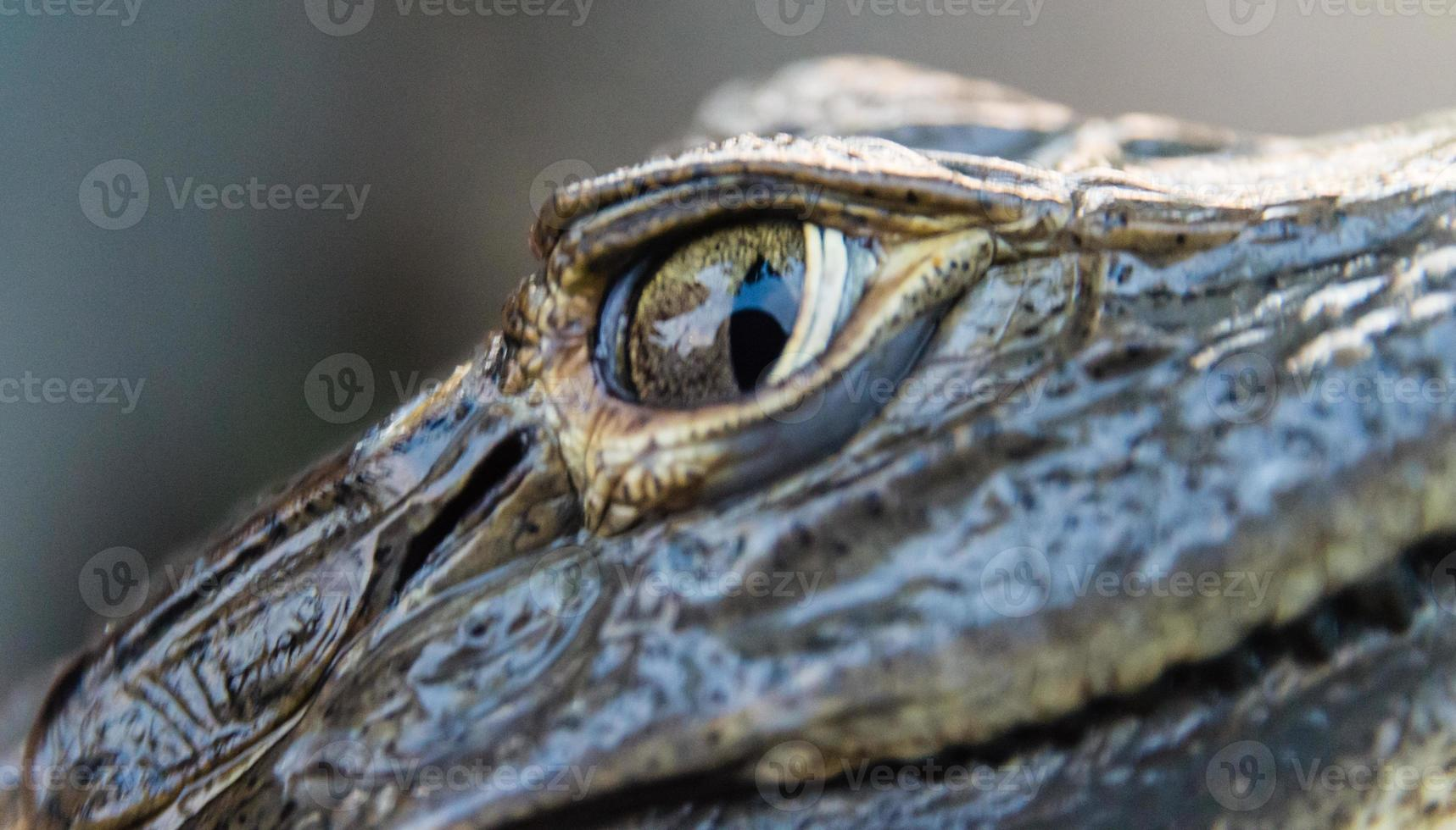 alto vicino del caimano foto