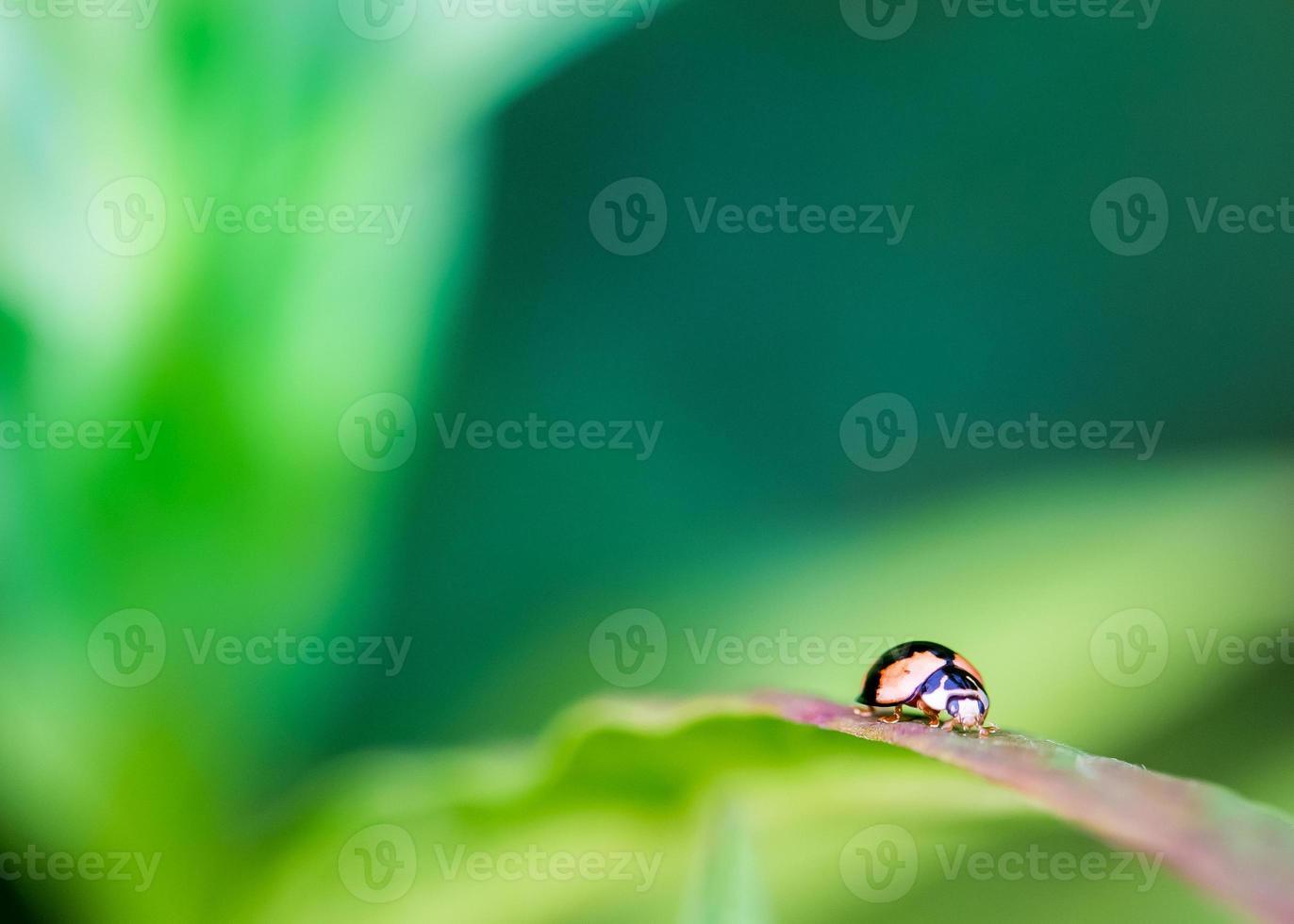 coccinella in naturale foto