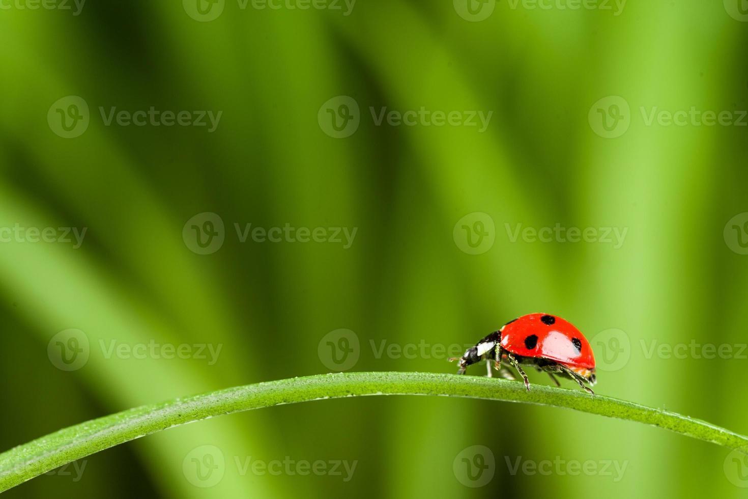 coccinella su erba sopra verde bachground foto