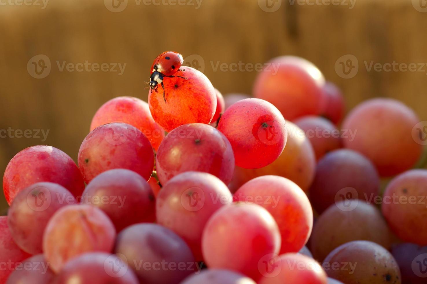 coccinella e uva foto