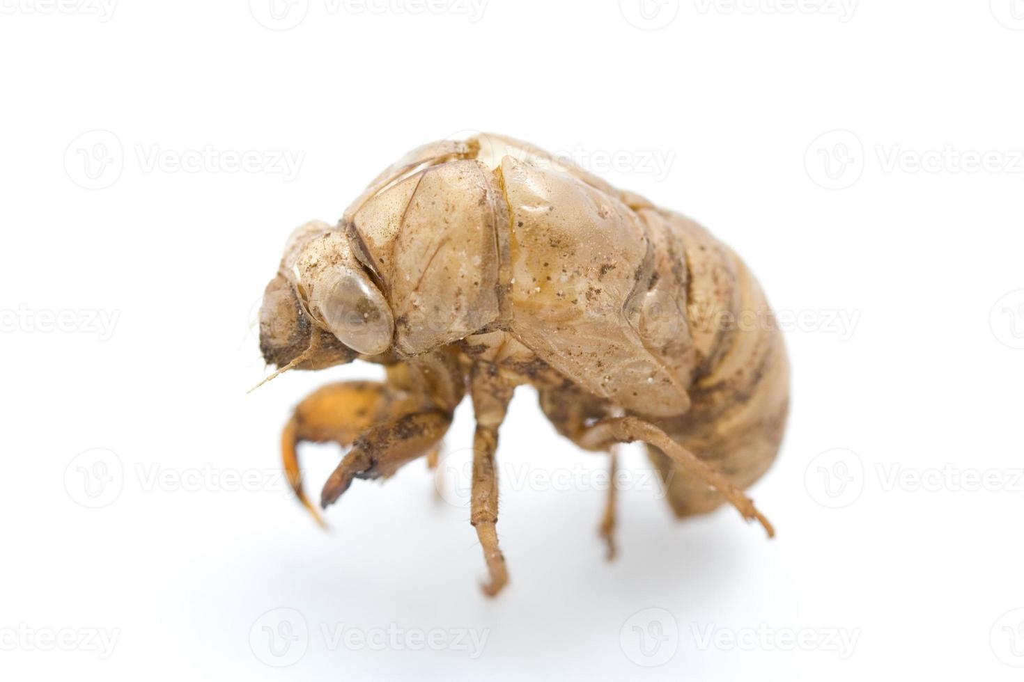 guscio di cicala foto