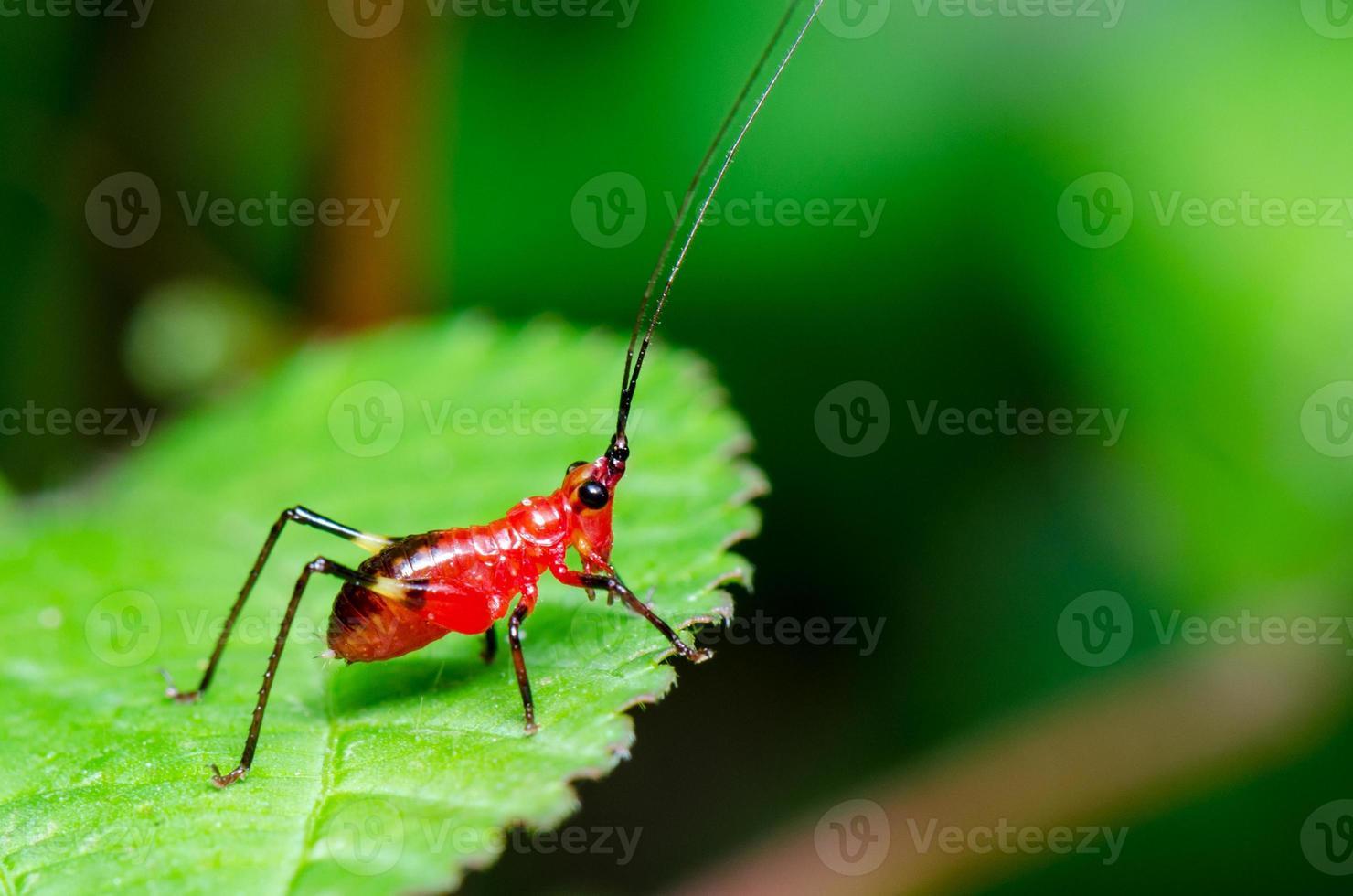 conocephalus melas minuscolo cricket rosso foto