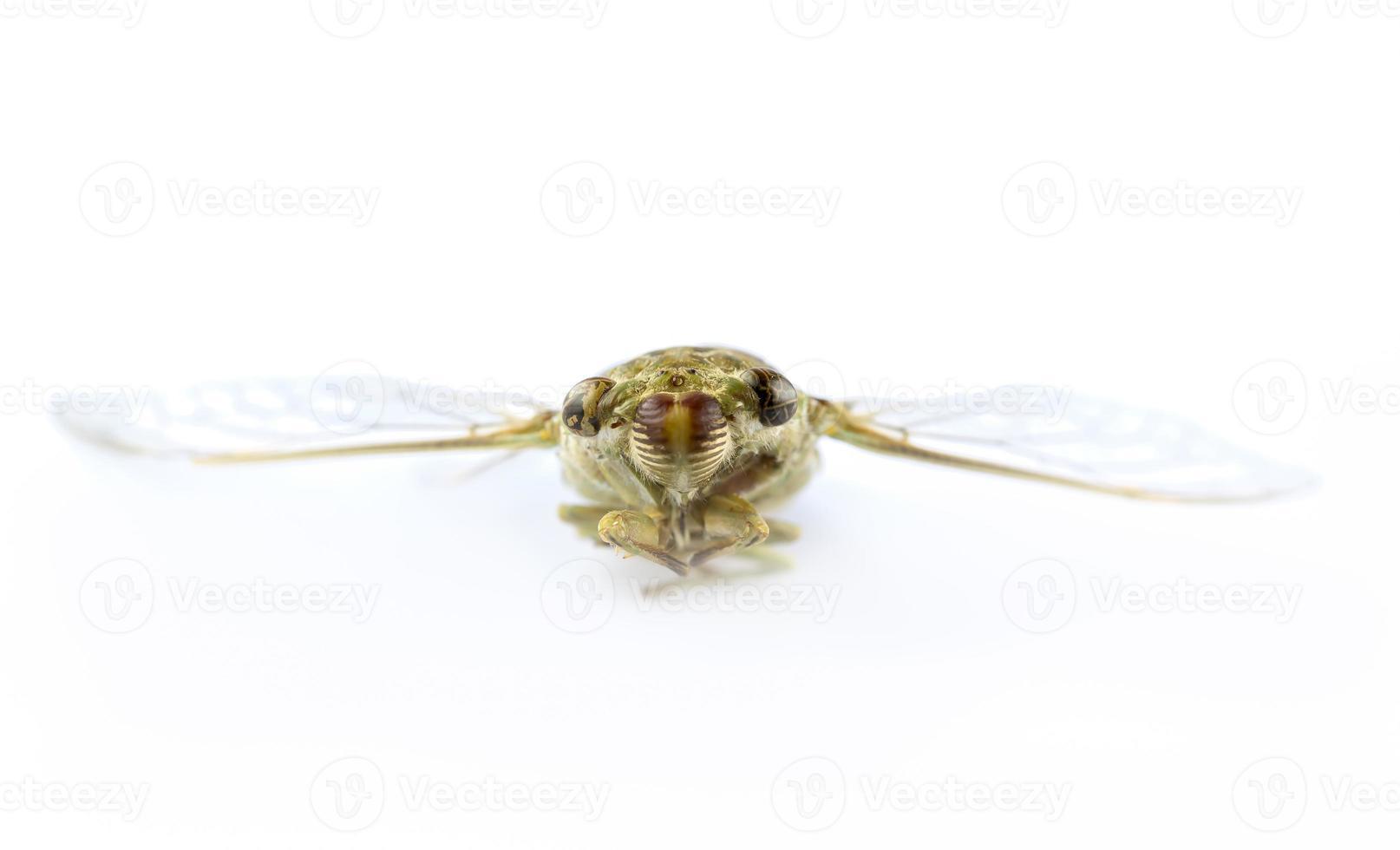 insetto cicala foto