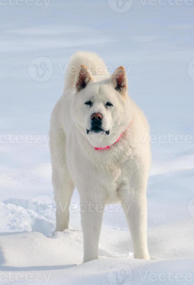 Akita bianco come la neve con colletto rosa nella neve. foto