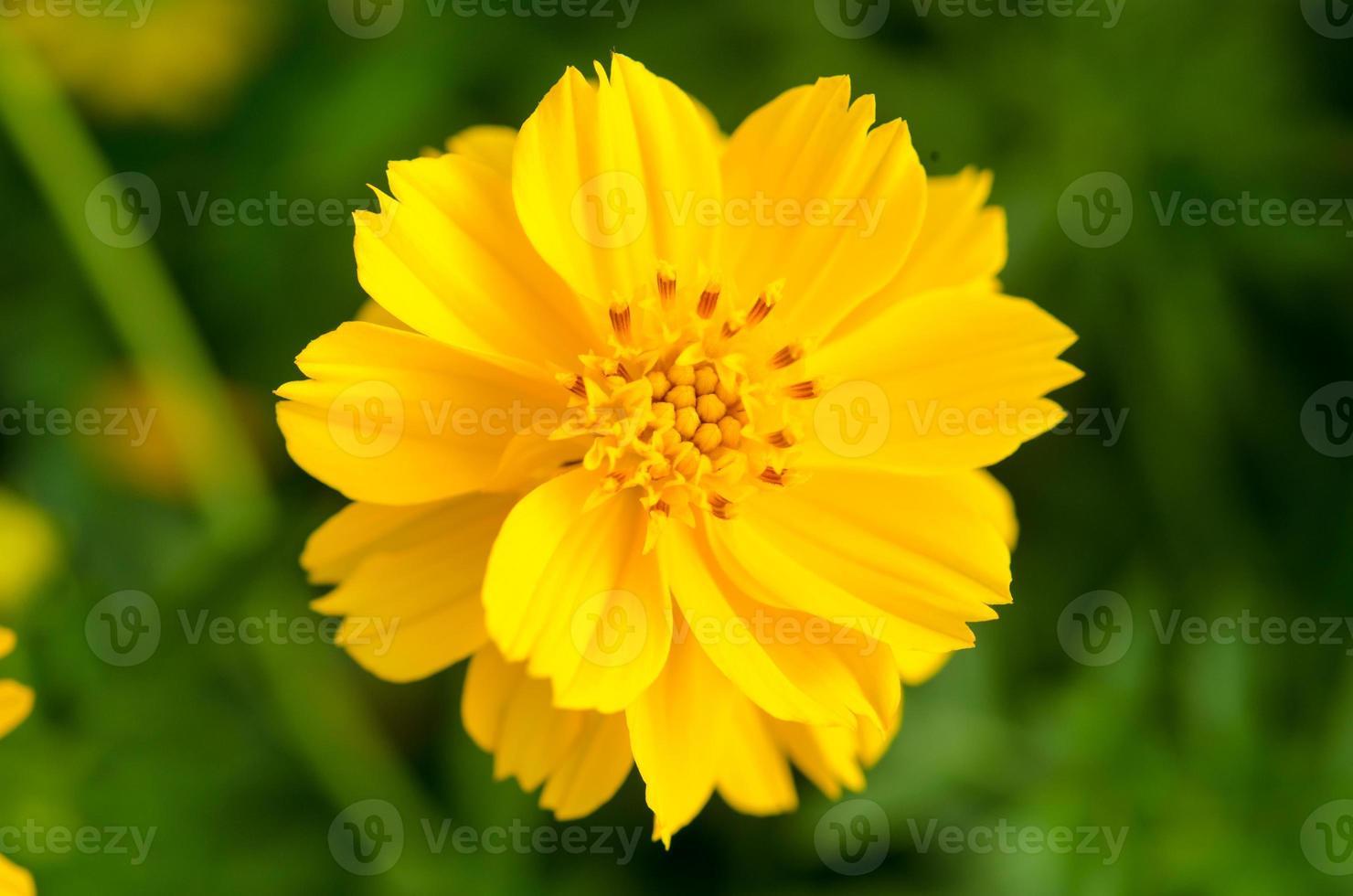 fiori gialli foto