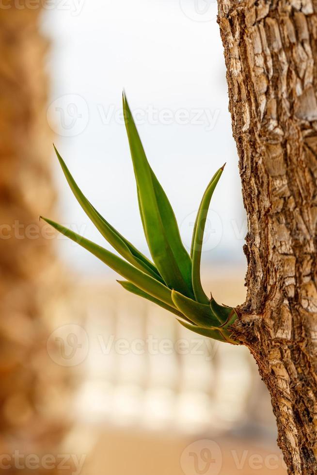 pianta di yucca foto