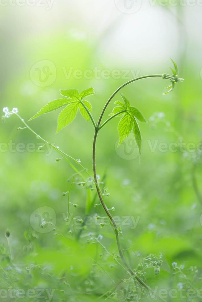 pianta rampicante foto