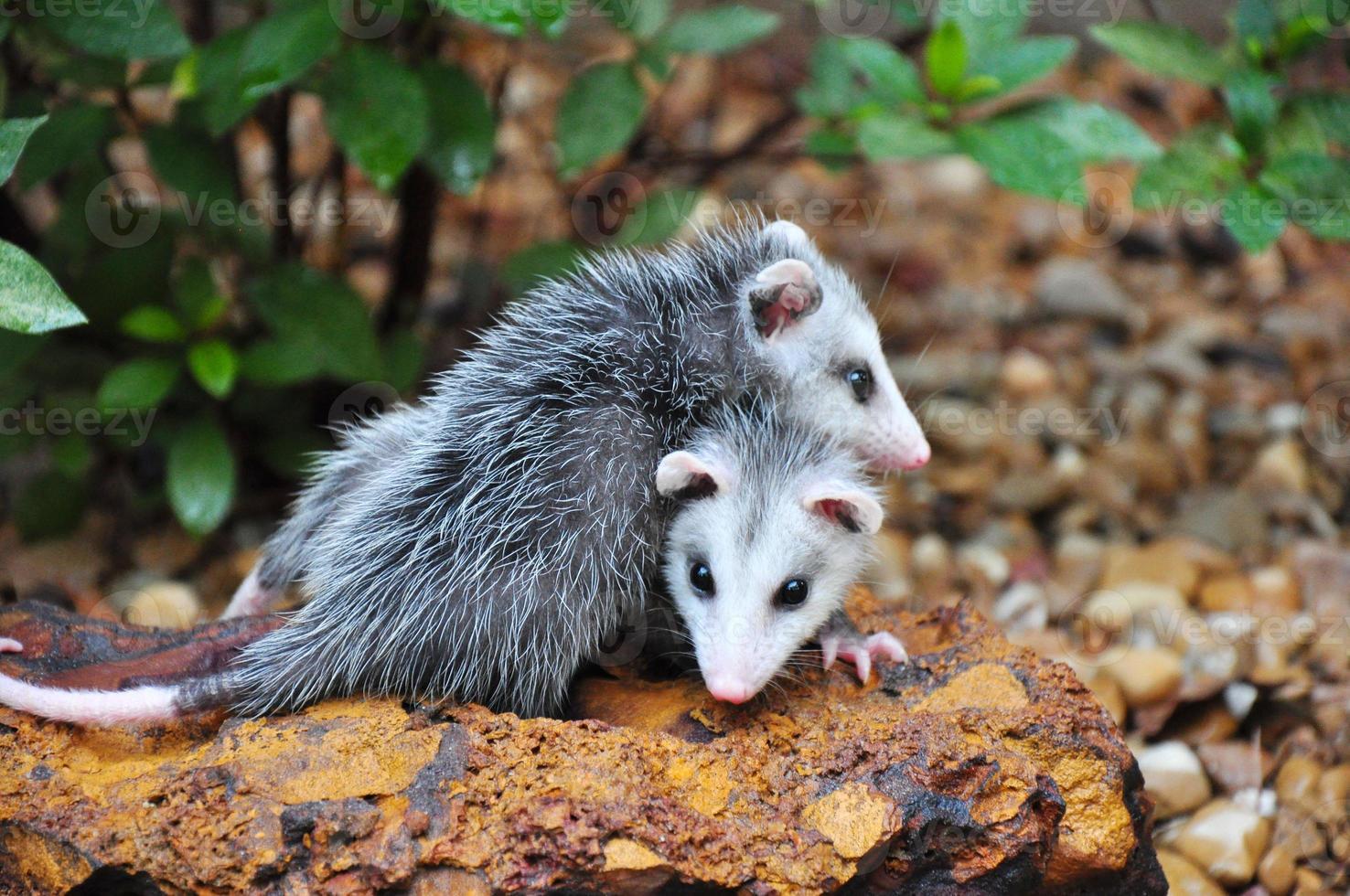 opossum bambini foto
