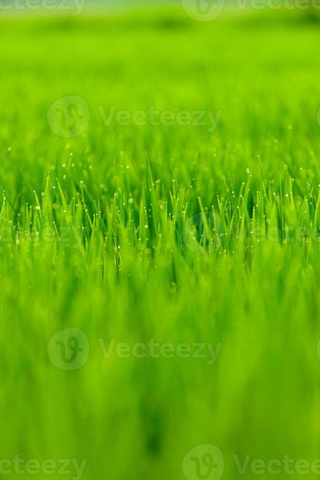 giacimento del riso in mattina con rugiada foto