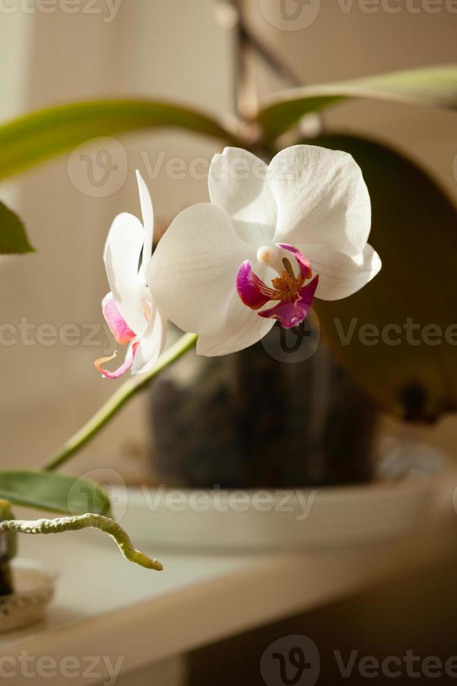 phalaenopsis. fiore bianco dell'orchidea dell'interno. foto