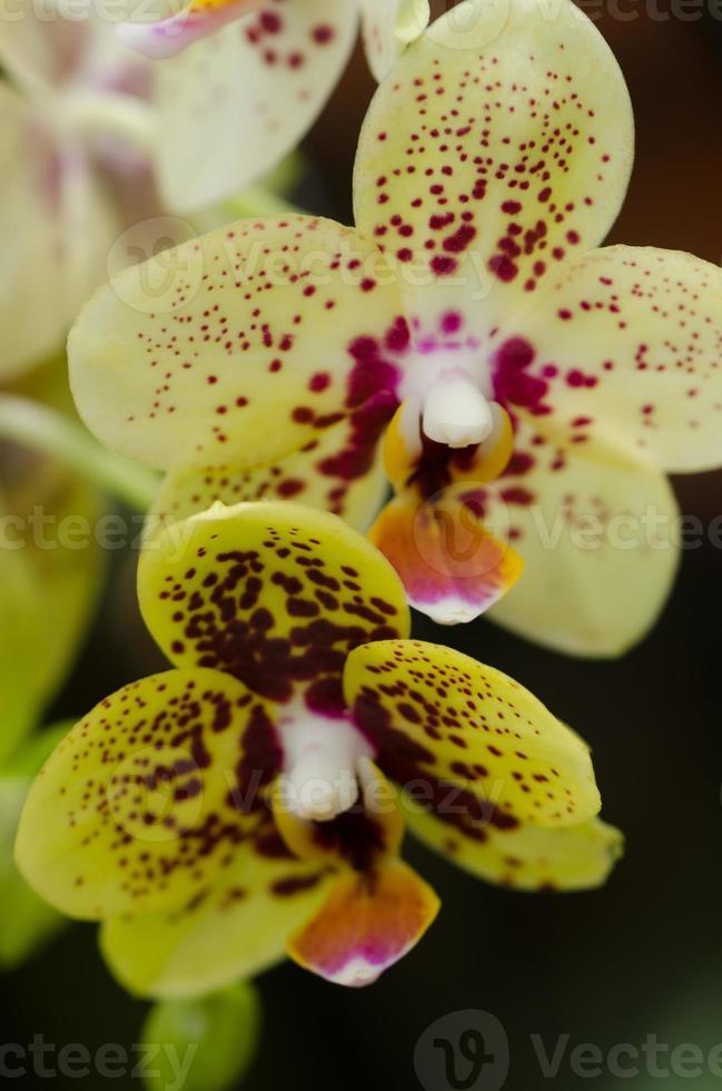 fiori di orchidea foto