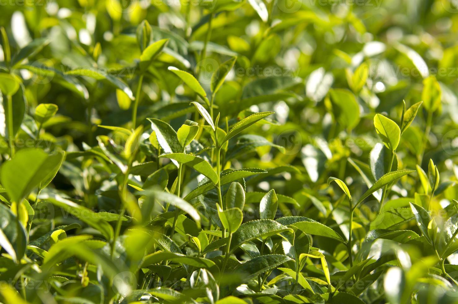 albero del tè asiatico oolong foto