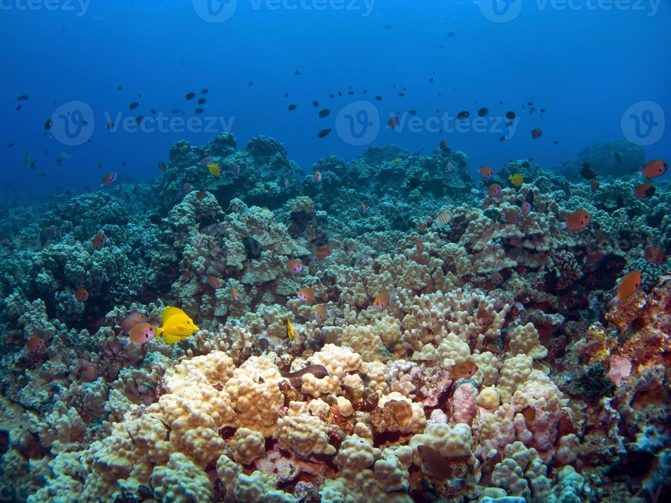 scena di barriera corallina hawaiana a Kona foto