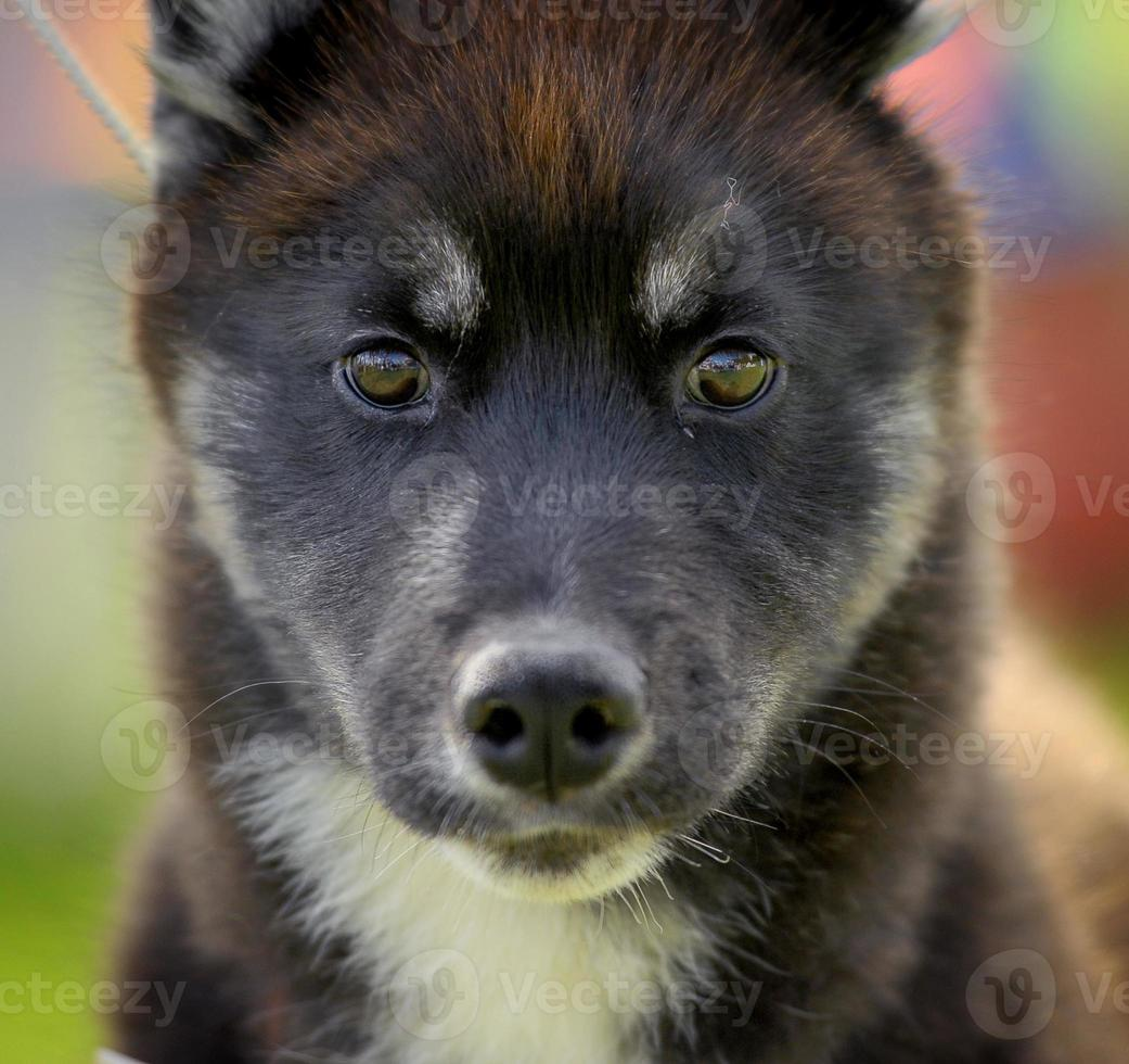 cucciolo di husky foto